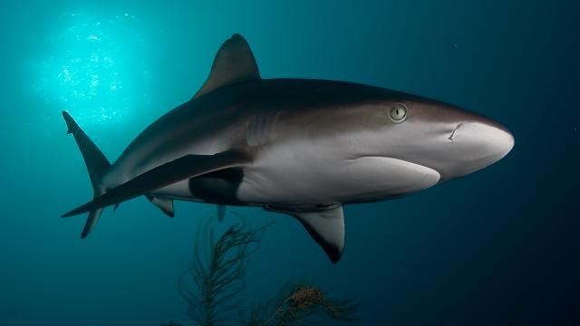 SILKY SHARK, CUBA